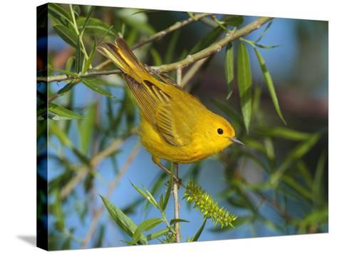 A Male Yellow Warbler,Dendroica Petechia Perched on a Tree Branch-George Grall-Stretched Canvas Print
