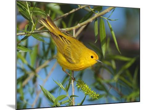 A Male Yellow Warbler,Dendroica Petechia Perched on a Tree Branch-George Grall-Mounted Photographic Print