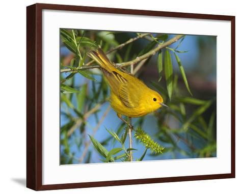 A Male Yellow Warbler,Dendroica Petechia Perched on a Tree Branch-George Grall-Framed Art Print