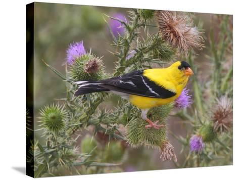 A Male American Goldfinch, Spinus Tristis, Perched on a Thistle-George Grall-Stretched Canvas Print