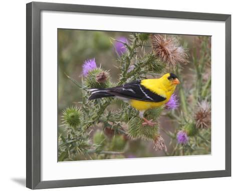 A Male American Goldfinch, Spinus Tristis, Perched on a Thistle-George Grall-Framed Art Print
