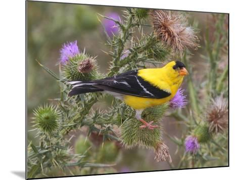 A Male American Goldfinch, Spinus Tristis, Perched on a Thistle-George Grall-Mounted Photographic Print