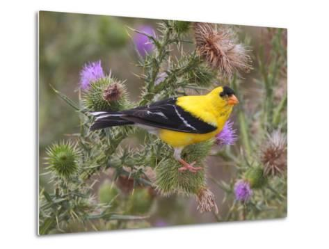 A Male American Goldfinch, Spinus Tristis, Perched on a Thistle-George Grall-Metal Print