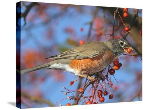 An American Robin, Turdus Migratorius, Eating Crab Apples in a Tree-George Grall-Stretched Canvas Print