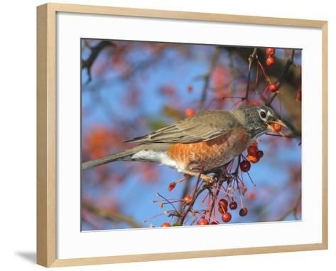 An American Robin, Turdus Migratorius, Eating Crab Apples in a Tree-George Grall-Framed Art Print