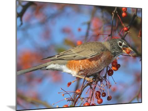 An American Robin, Turdus Migratorius, Eating Crab Apples in a Tree-George Grall-Mounted Photographic Print