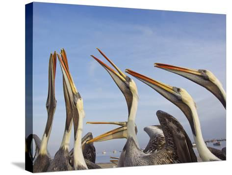 A Group of Peruvian Pelicans Fight over a Piece of Fish-Mike Theiss-Stretched Canvas Print