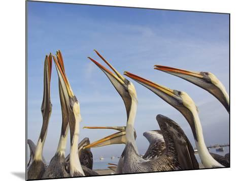 A Group of Peruvian Pelicans Fight over a Piece of Fish-Mike Theiss-Mounted Photographic Print