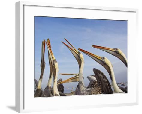 A Group of Peruvian Pelicans Fight over a Piece of Fish-Mike Theiss-Framed Art Print