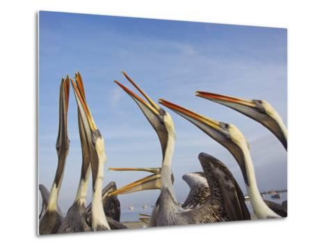 A Group of Peruvian Pelicans Fight over a Piece of Fish-Mike Theiss-Metal Print