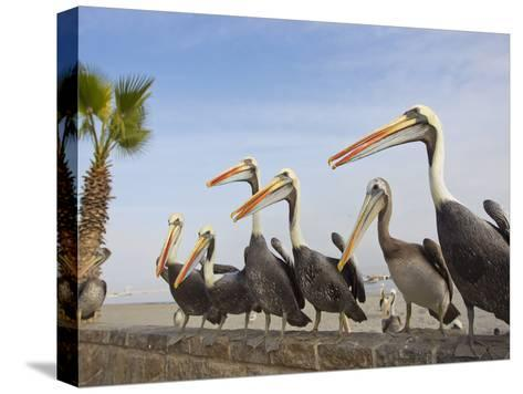 Peruvian Pelicans Sitting on a Seawall at the Beach-Mike Theiss-Stretched Canvas Print