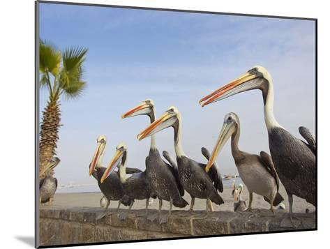 Peruvian Pelicans Sitting on a Seawall at the Beach-Mike Theiss-Mounted Photographic Print