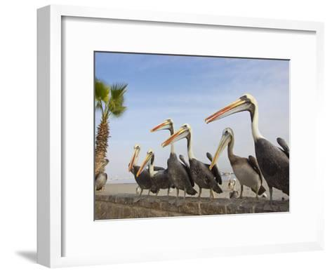Peruvian Pelicans Sitting on a Seawall at the Beach-Mike Theiss-Framed Art Print