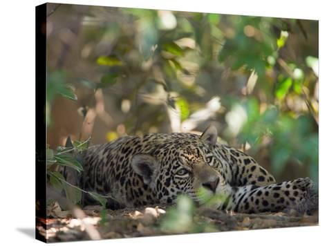 Jaguar, Panthera Onca, Resting in Shade-Roy Toft-Stretched Canvas Print
