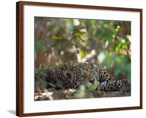 Jaguar, Panthera Onca, Resting in Shade-Roy Toft-Framed Art Print