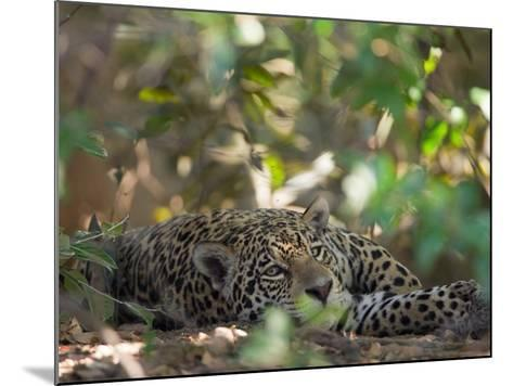 Jaguar, Panthera Onca, Resting in Shade-Roy Toft-Mounted Photographic Print