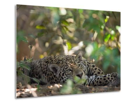 Jaguar, Panthera Onca, Resting in Shade-Roy Toft-Metal Print