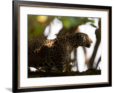 Jaguar, Panthera Onca, Walking in the Shade-Roy Toft-Framed Art Print