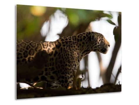 Jaguar, Panthera Onca, Walking in the Shade-Roy Toft-Metal Print