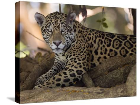 Jaguar, Panthera Onca, Resting in the Shade-Roy Toft-Stretched Canvas Print