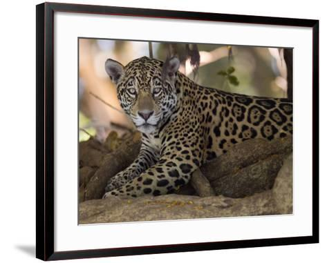 Jaguar, Panthera Onca, Resting in the Shade-Roy Toft-Framed Art Print