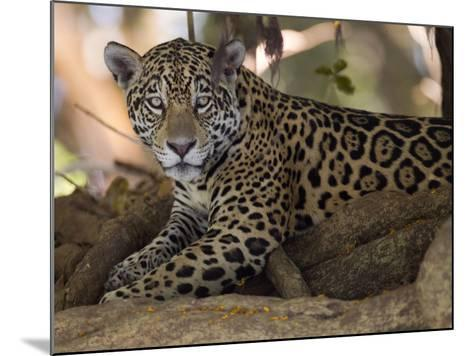 Jaguar, Panthera Onca, Resting in the Shade-Roy Toft-Mounted Photographic Print