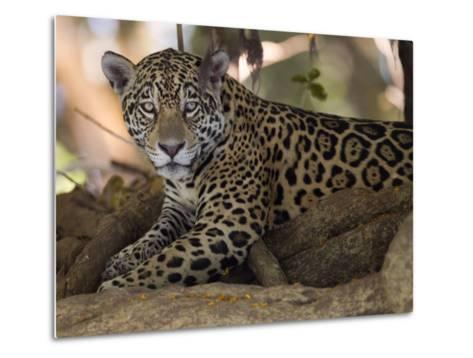 Jaguar, Panthera Onca, Resting in the Shade-Roy Toft-Metal Print
