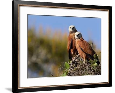 Black-Collared Hawks, Busarellus Nigricollis, in their Nest-Roy Toft-Framed Art Print