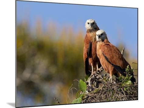Black-Collared Hawks, Busarellus Nigricollis, in their Nest-Roy Toft-Mounted Photographic Print