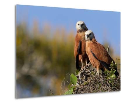 Black-Collared Hawks, Busarellus Nigricollis, in their Nest-Roy Toft-Metal Print