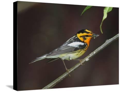 A Male Blackburnian Warbler Rests with a Mouthful of Caterpillars-George Grall-Stretched Canvas Print