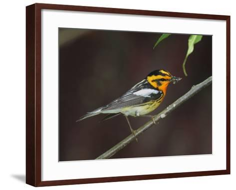 A Male Blackburnian Warbler Rests with a Mouthful of Caterpillars-George Grall-Framed Art Print