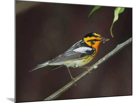 A Male Blackburnian Warbler Rests with a Mouthful of Caterpillars-George Grall-Mounted Photographic Print