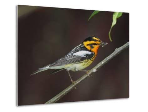 A Male Blackburnian Warbler Rests with a Mouthful of Caterpillars-George Grall-Metal Print