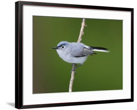 A Blue Gray Gnatcatcher, Polioptila Caerulea, on a Tree Branch-George Grall-Framed Art Print
