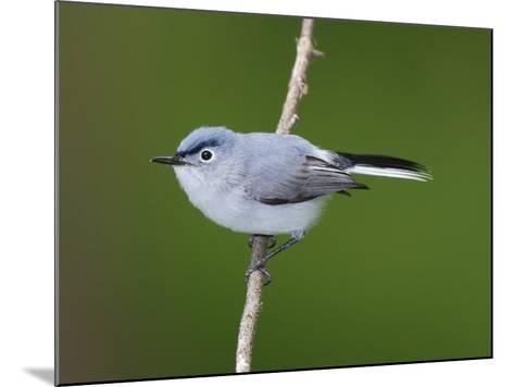 A Blue Gray Gnatcatcher, Polioptila Caerulea, on a Tree Branch-George Grall-Mounted Photographic Print