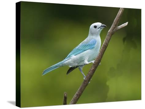 A Male Blue-Gray Tanager, Thraupis Episcopis, on a Twig-George Grall-Stretched Canvas Print