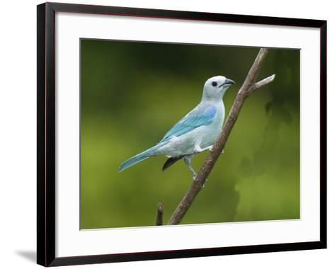 A Male Blue-Gray Tanager, Thraupis Episcopis, on a Twig-George Grall-Framed Art Print