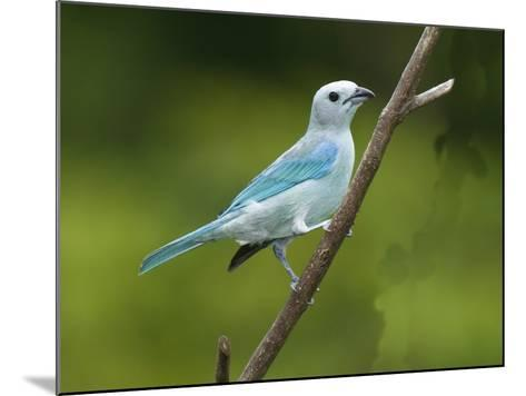 A Male Blue-Gray Tanager, Thraupis Episcopis, on a Twig-George Grall-Mounted Photographic Print