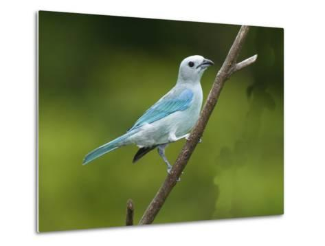 A Male Blue-Gray Tanager, Thraupis Episcopis, on a Twig-George Grall-Metal Print