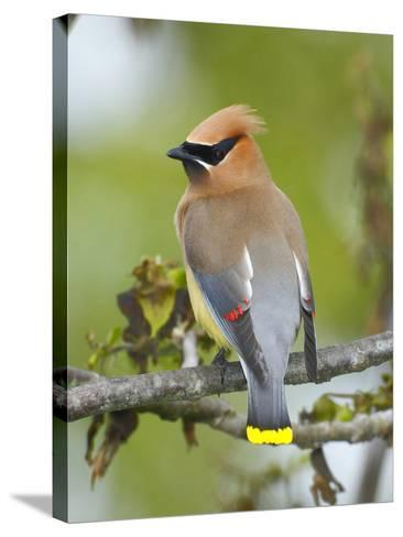 A Male Cedar Waxwing in Breeding Color on a Tree Branch-George Grall-Stretched Canvas Print