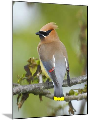A Male Cedar Waxwing in Breeding Color on a Tree Branch-George Grall-Mounted Photographic Print