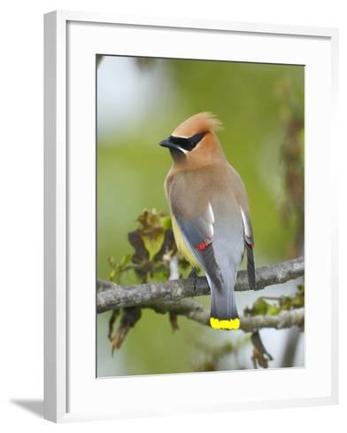 A Male Cedar Waxwing in Breeding Color on a Tree Branch-George Grall-Framed Art Print