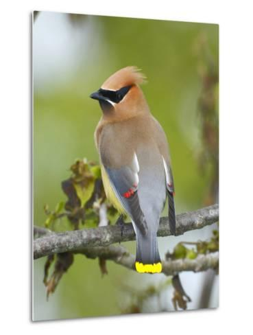 A Male Cedar Waxwing in Breeding Color on a Tree Branch-George Grall-Metal Print