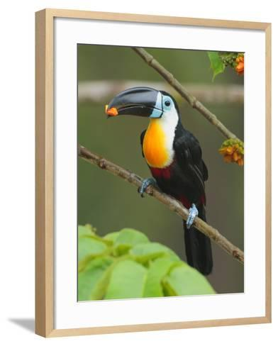 A Channel Billed Toucan, Ramphastos Vitellinus, Eating Fruit-George Grall-Framed Art Print