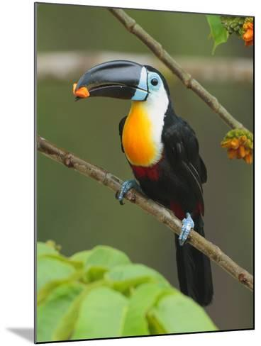A Channel Billed Toucan, Ramphastos Vitellinus, Eating Fruit-George Grall-Mounted Photographic Print