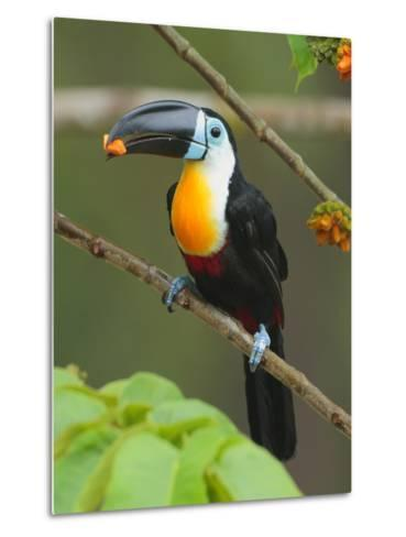 A Channel Billed Toucan, Ramphastos Vitellinus, Eating Fruit-George Grall-Metal Print