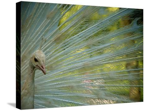 Close Up of an Albino Peacock-Heather Perry-Stretched Canvas Print