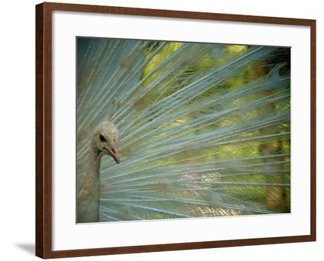 Close Up of an Albino Peacock-Heather Perry-Framed Art Print