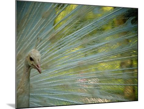 Close Up of an Albino Peacock-Heather Perry-Mounted Photographic Print